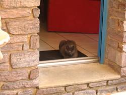 Orphée Surnom Boubou, chat Chartreux