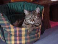 Églantine, chat Européen