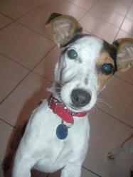 Dipsie, chien Jack Russell Terrier