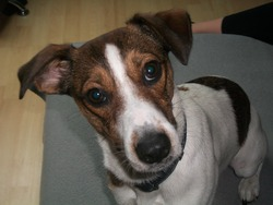 Lilou, chien Jack Russell Terrier