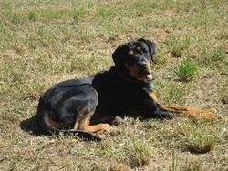 Spyke, chien Rottweiler