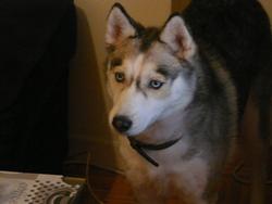 Alyra, chien Husky sibérien