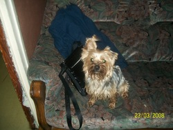 Ophélie, chien Yorkshire Terrier