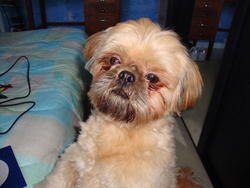 Doudou, chien Shih Tzu