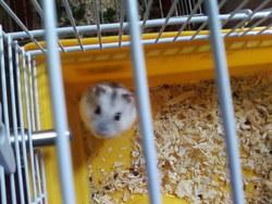 Hamster Nain, rongeur