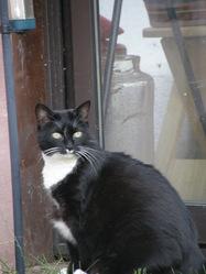 Zalhia, chat Européen