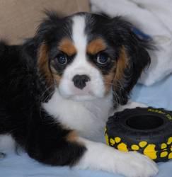 Groseille, chien Cavalier King Charles Spaniel