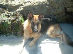 Vulcan, chien Berger allemand