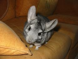 Scrat, rongeur Chinchilla