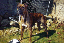 Jules Rip, chien Boxer