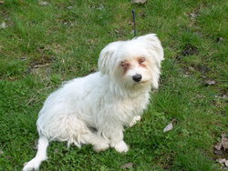 Dyxie, chien Bichon maltais