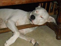 Kaya, chien Dogue argentin