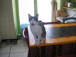 Demoiselle, chat Gouttière