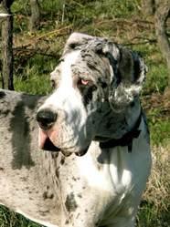 Eyko, chien Dogue allemand