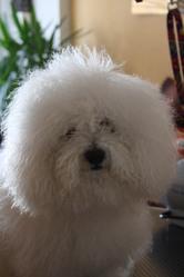 Diabolo, chien Bichon à poil frisé