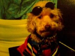 Benjy, chien Caniche