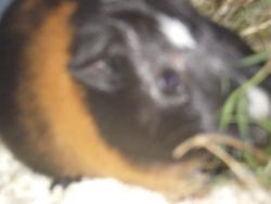 Fiasko, rongeur Cochon d'Inde