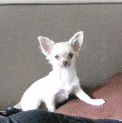 Elise, chien Chihuahua
