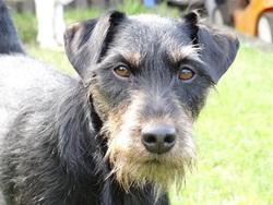 Boby, chien Jagdterrier