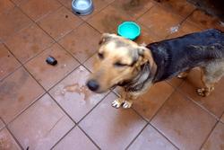 Miloha, chien
