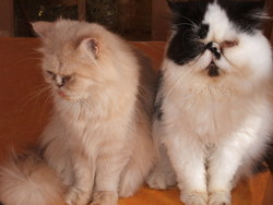Charlie Et Betty, chat Persan