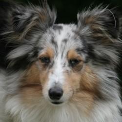 Désir Bleuté , chien Berger des Shetland