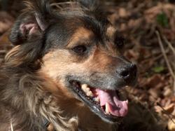 Obélyx, chien Teckel
