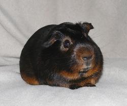 Brüno, rongeur Cochon d'Inde