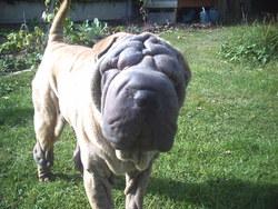 Eiko, chien Shar Pei
