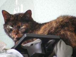 Nenette, chat Européen
