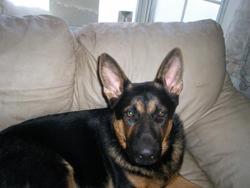 Sammie, chien Berger allemand
