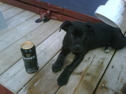Guinness, chien Staffordshire Bull Terrier