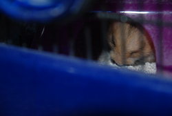 Pin's, rongeur Hamster