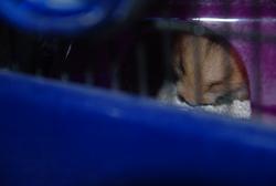 Pin's, rongeur Hamster