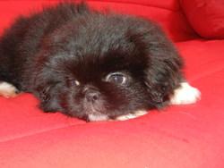 Girly, chien Pékinois