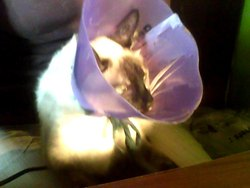 Vanille, chat Birman
