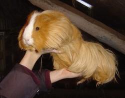 Coockie, rongeur Cochon d'Inde