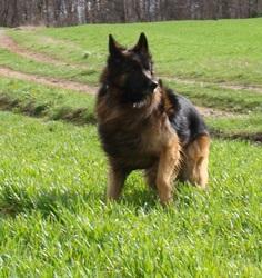 Arès, chien Berger allemand