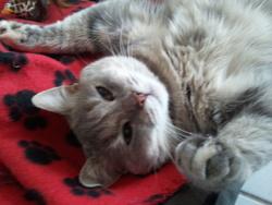 Leeloo, chat Européen