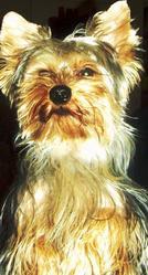 Bijou, chien Yorkshire Terrier