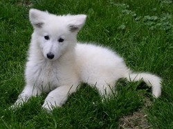 Coco, chien Berger blanc suisse