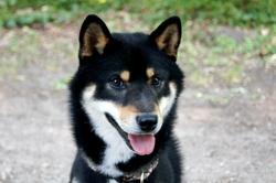E'yuki, chien Shiba Inu