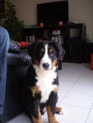 Fax, chien Bouvier bernois