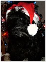 Scotty, chien Scottish Terrier
