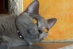 Etoile, chat Chartreux