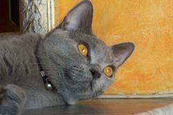 Etoile, chat Chartreux