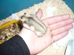 Zozo, rongeur Hamster