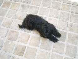 Kiara, chien