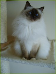 Amos De Chatterley, chat Birman