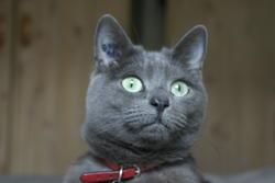 Pixie, chat Chartreux